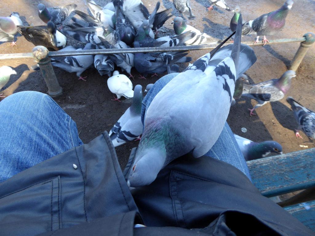 Neugierige Taube untersucht meine Jacke