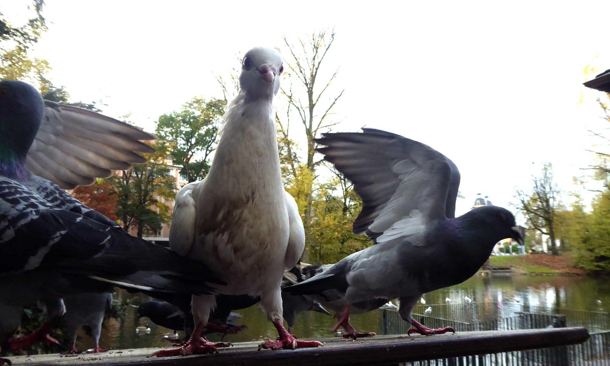 Drei Tauben für ein Impressum