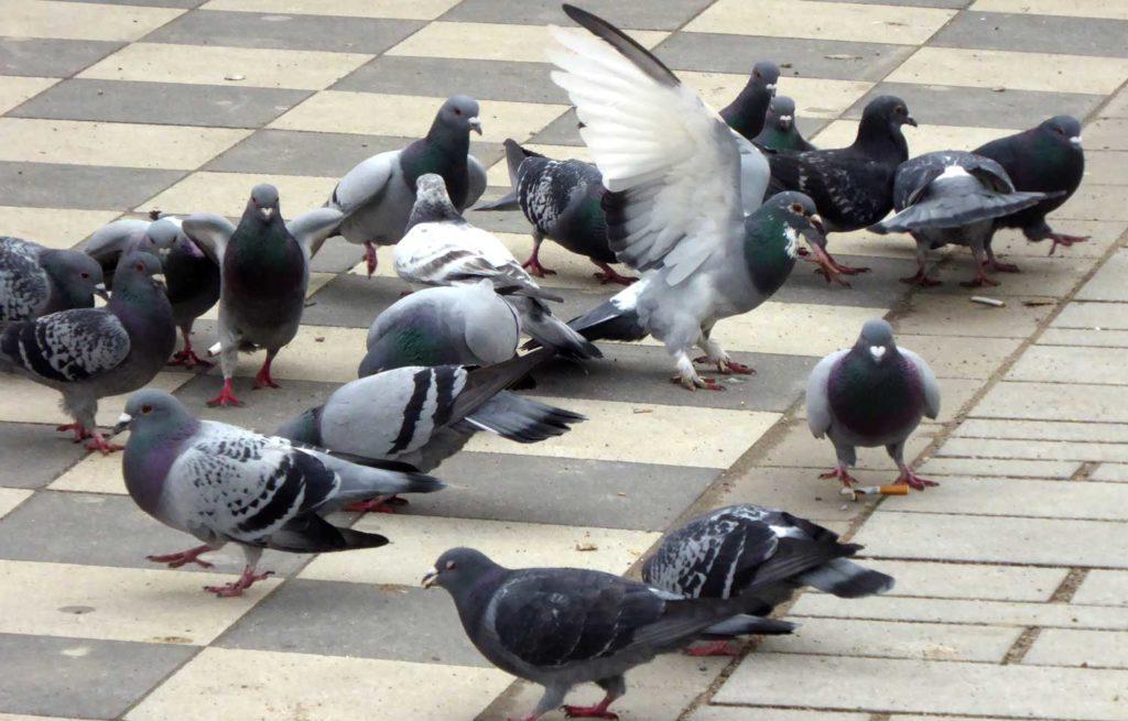 hungrige Tauben picken Zigarettenkippen