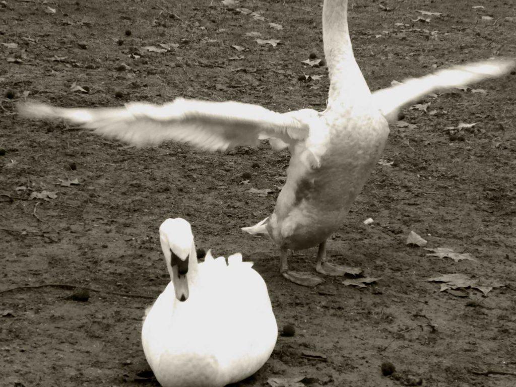 Schwäne im Hofgarten