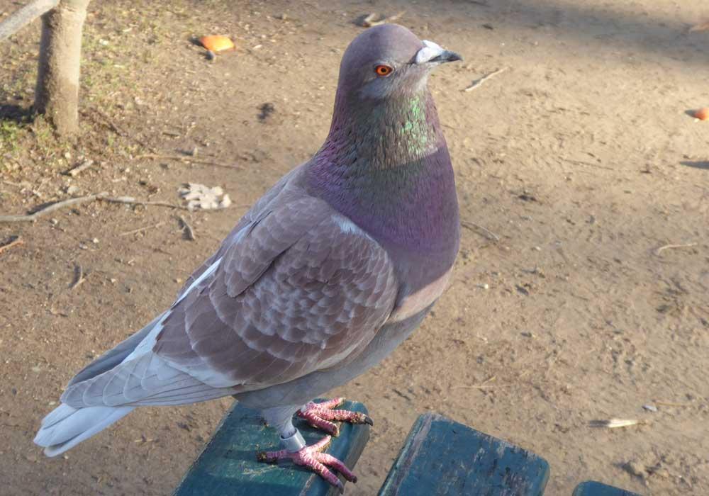 Eine beringte (Vogelwarte Helgoland) Stadttaube
