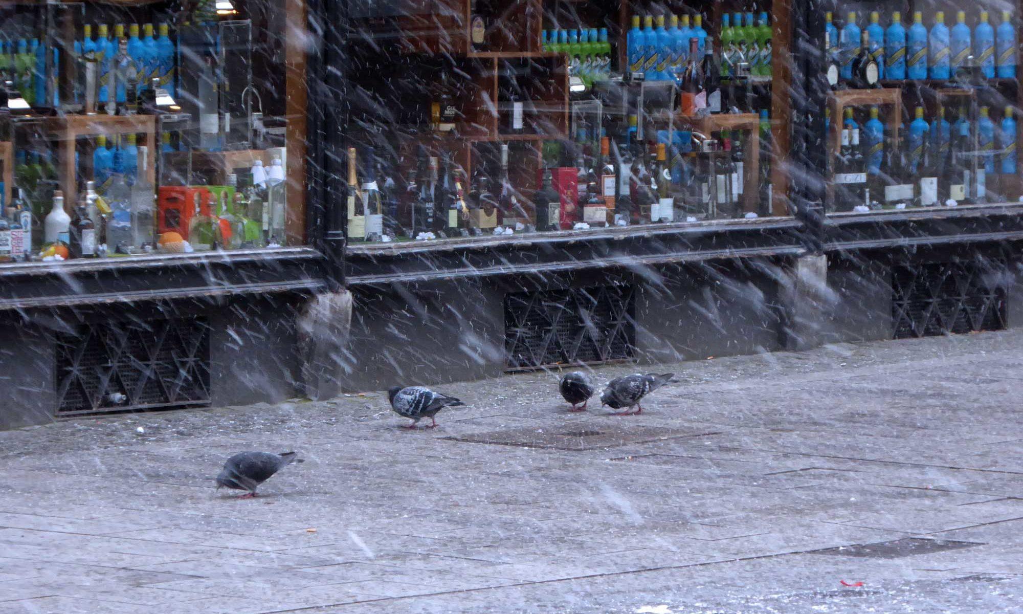 Stadttauben im Winter auf Futtersuche