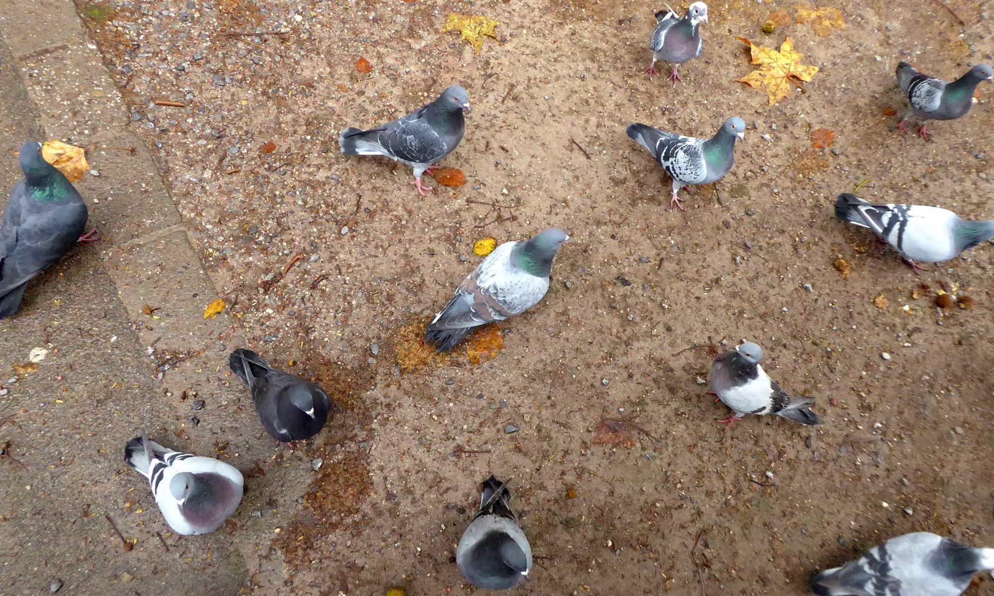 Düsseldorfer Tauben warten auf Futter