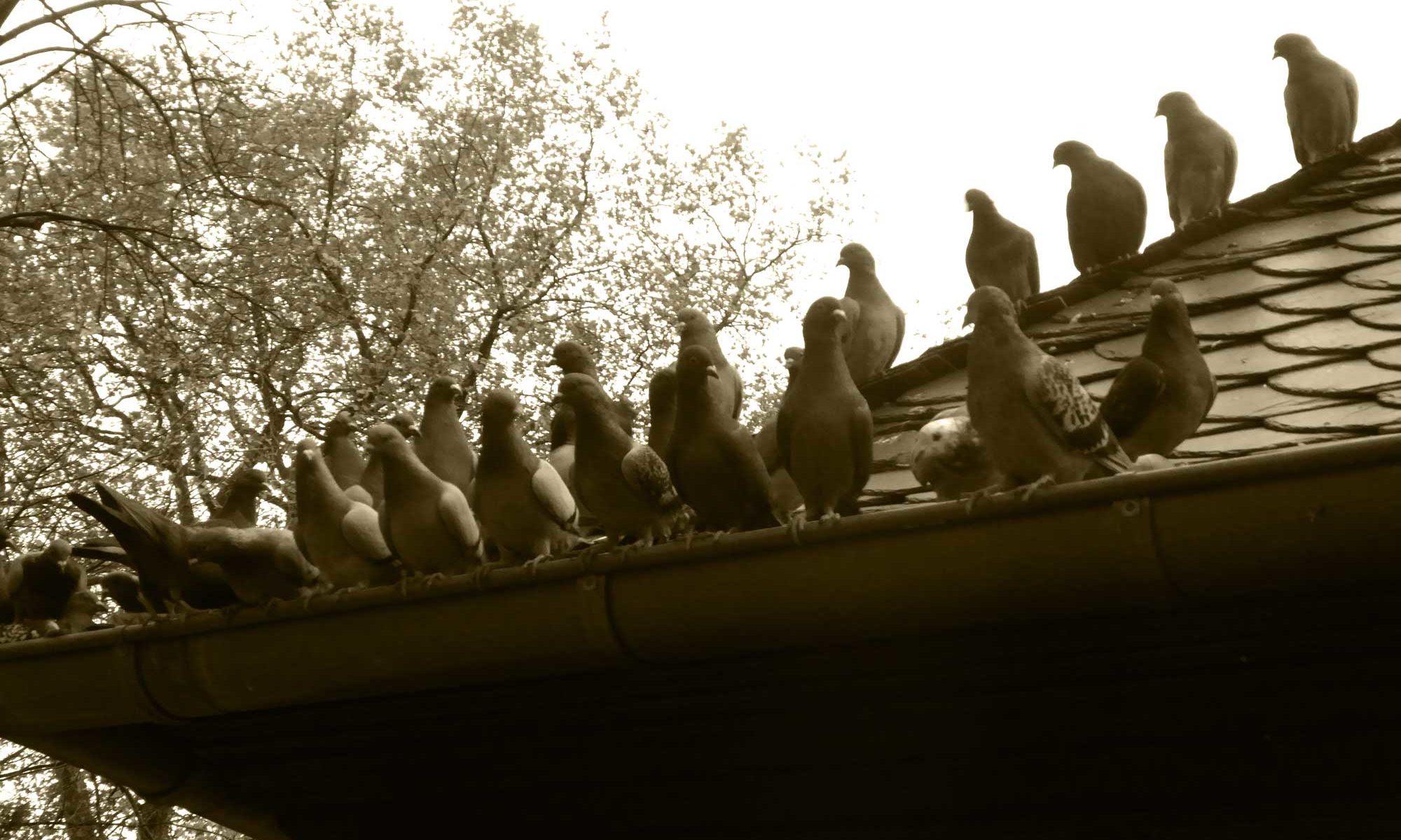 Tauben ohne Schutz