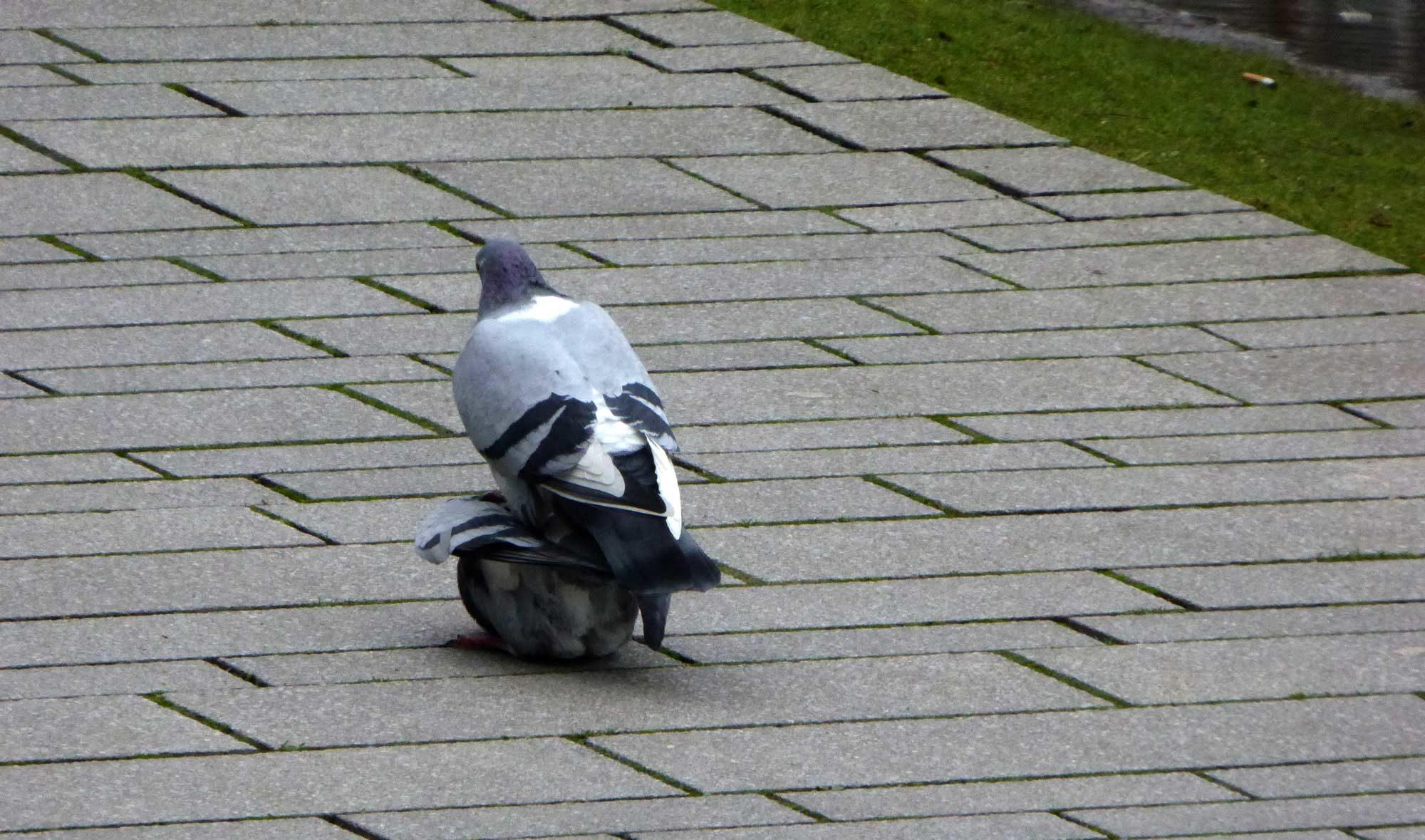 Taubensex auf dem Gehweg