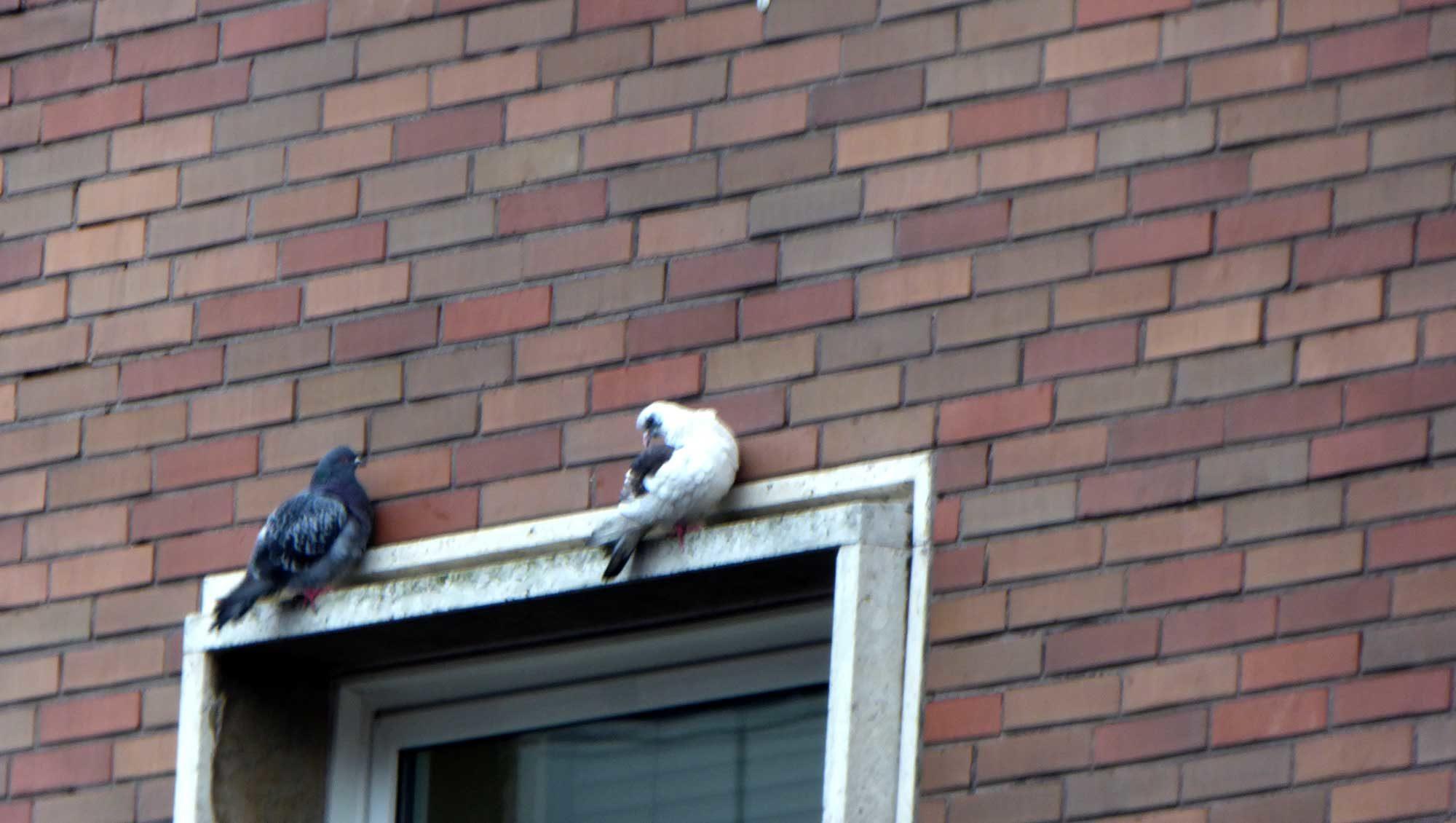 Heimatlose Tauben in der Großstadt