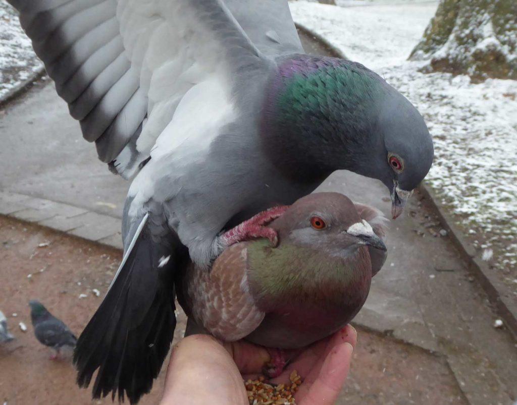 Um Futter kämpfende Tauben