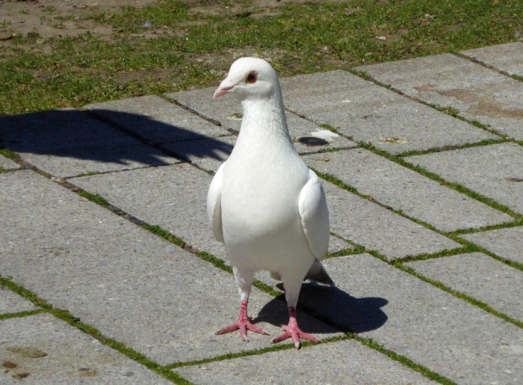 Weiße Taube in Düsseldorfer Altstadt