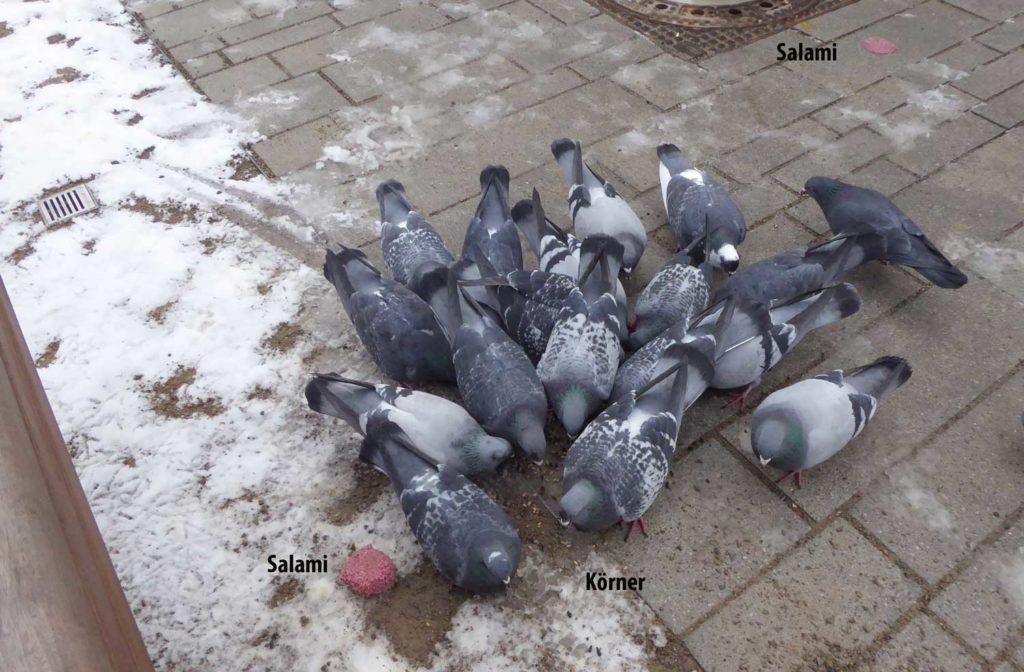 Tauben bleiben Körnerfresser