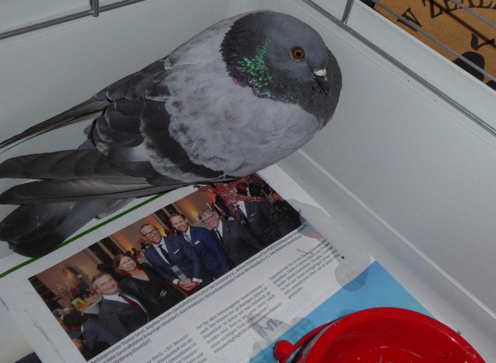Kranke Taube verweigert Nahrung und Wasser