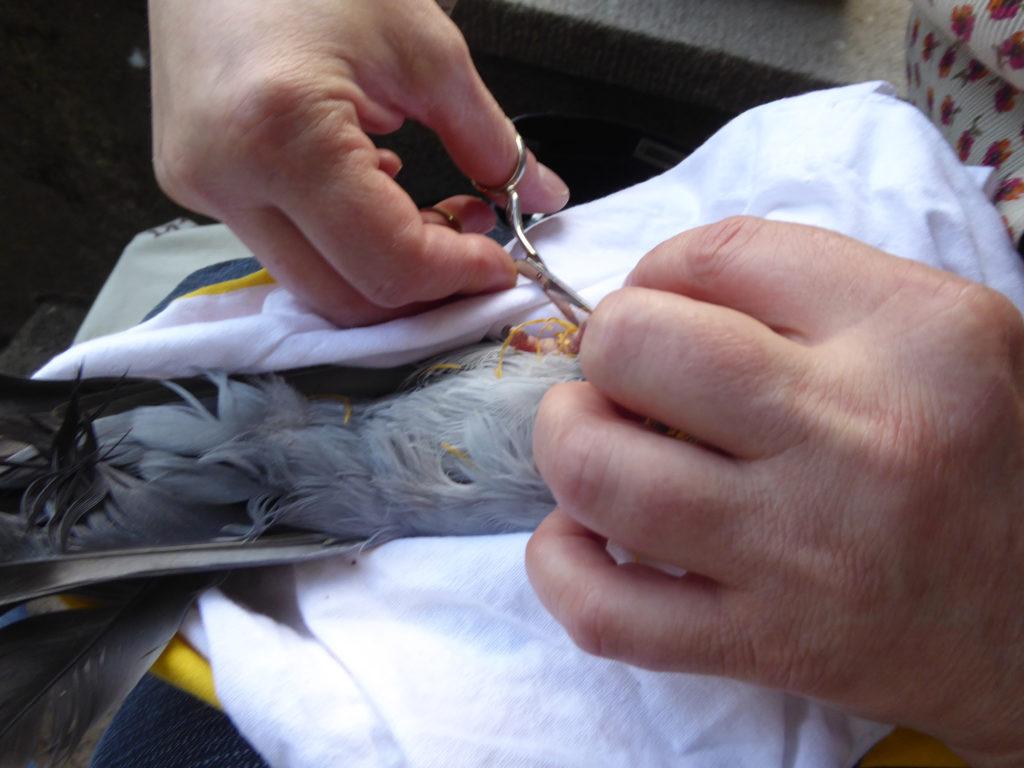 Erste Hilfe bei verschnürten Tauben