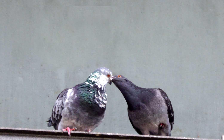 Zärtliche Tauben