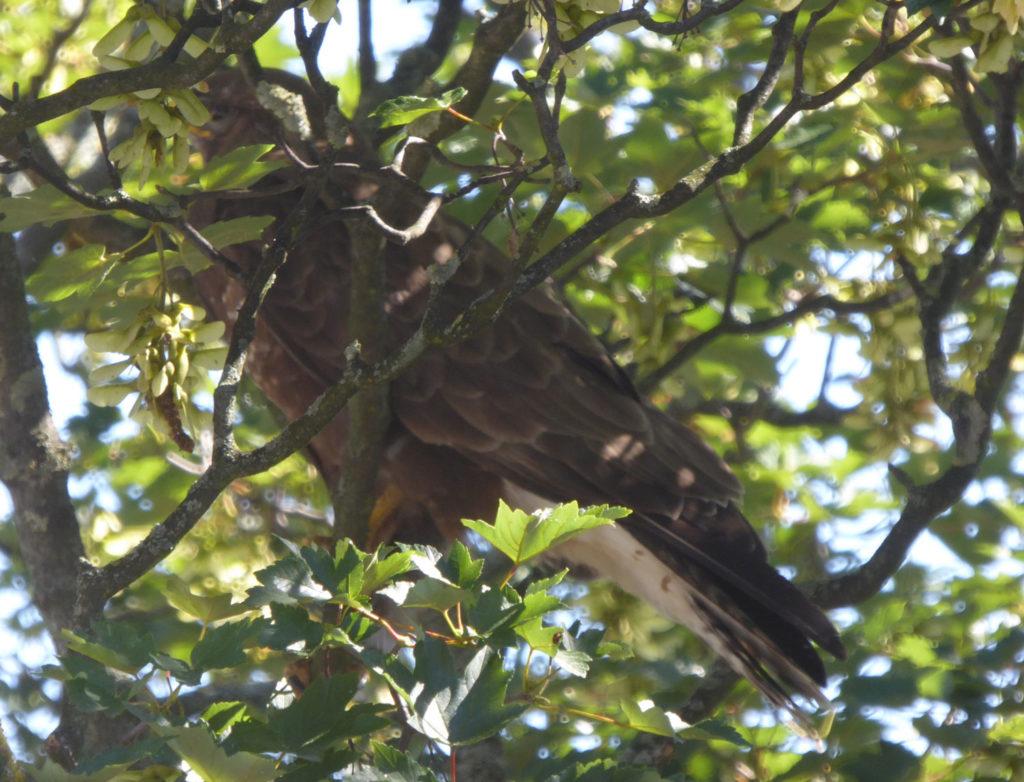 Greifvogel im Hinterhof