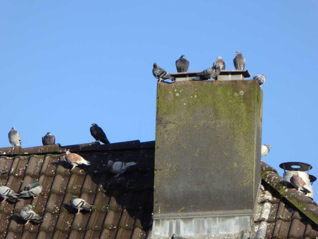 100 Tauben in Düsseldorf Derendorf plötzlich verschwunden