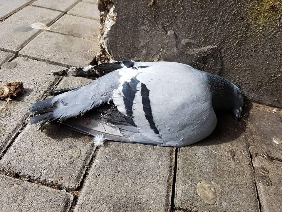 Taube als Opfer der Vergrämung durch Klebepasten