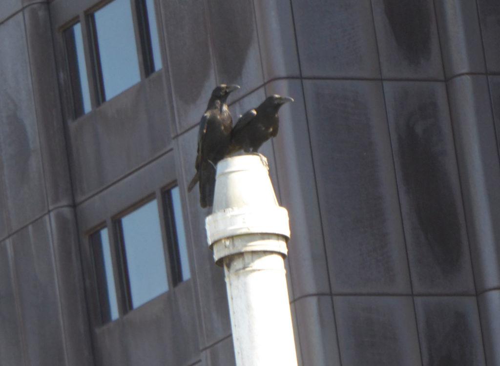 Krähenpärchen beobachten den Sperber