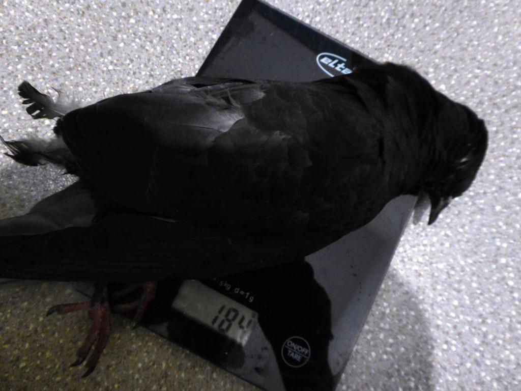 Die Taube wog nur 184 Gramm