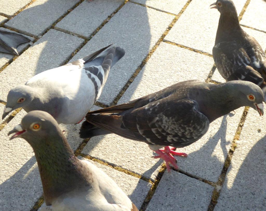 Tauben leiden unter der Hitze in Düsseldorf