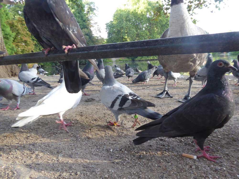 Gestrandete Brieftaube im Hofgarten unter Stadttauben