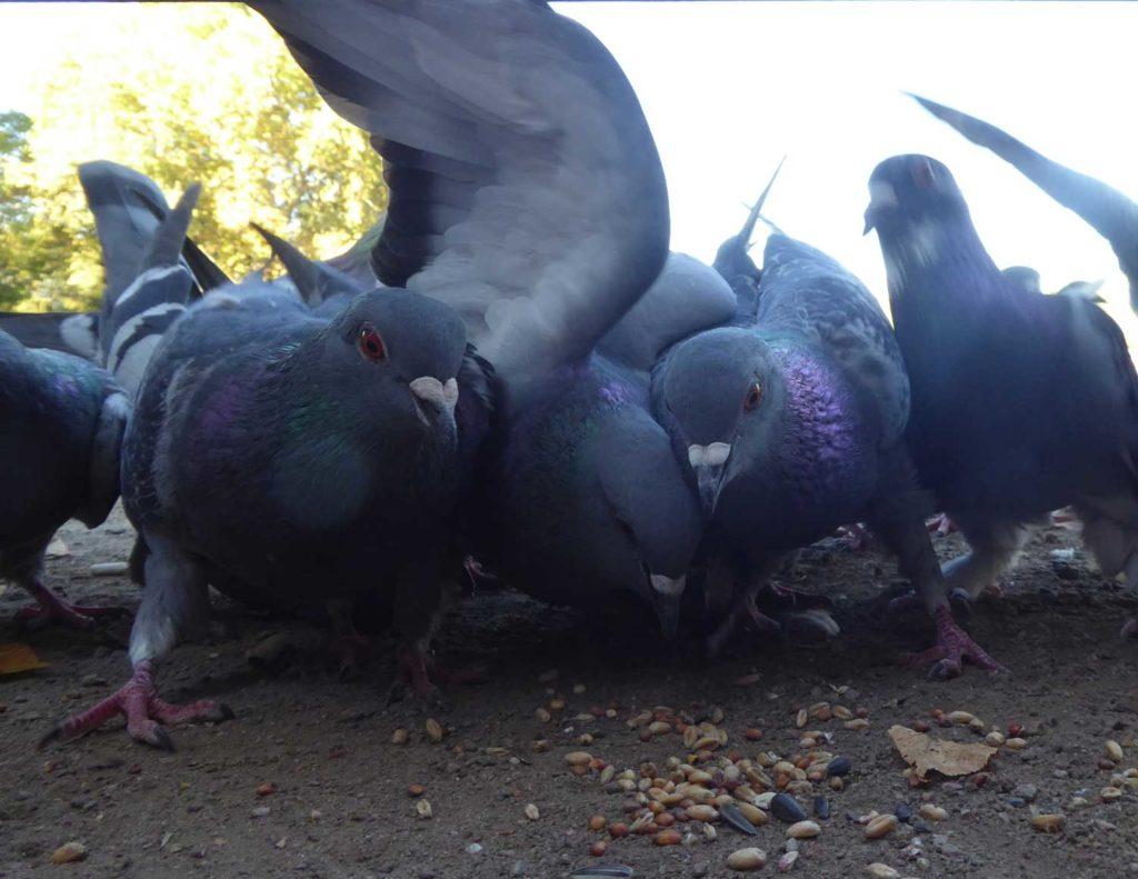 hungrige Tauben
