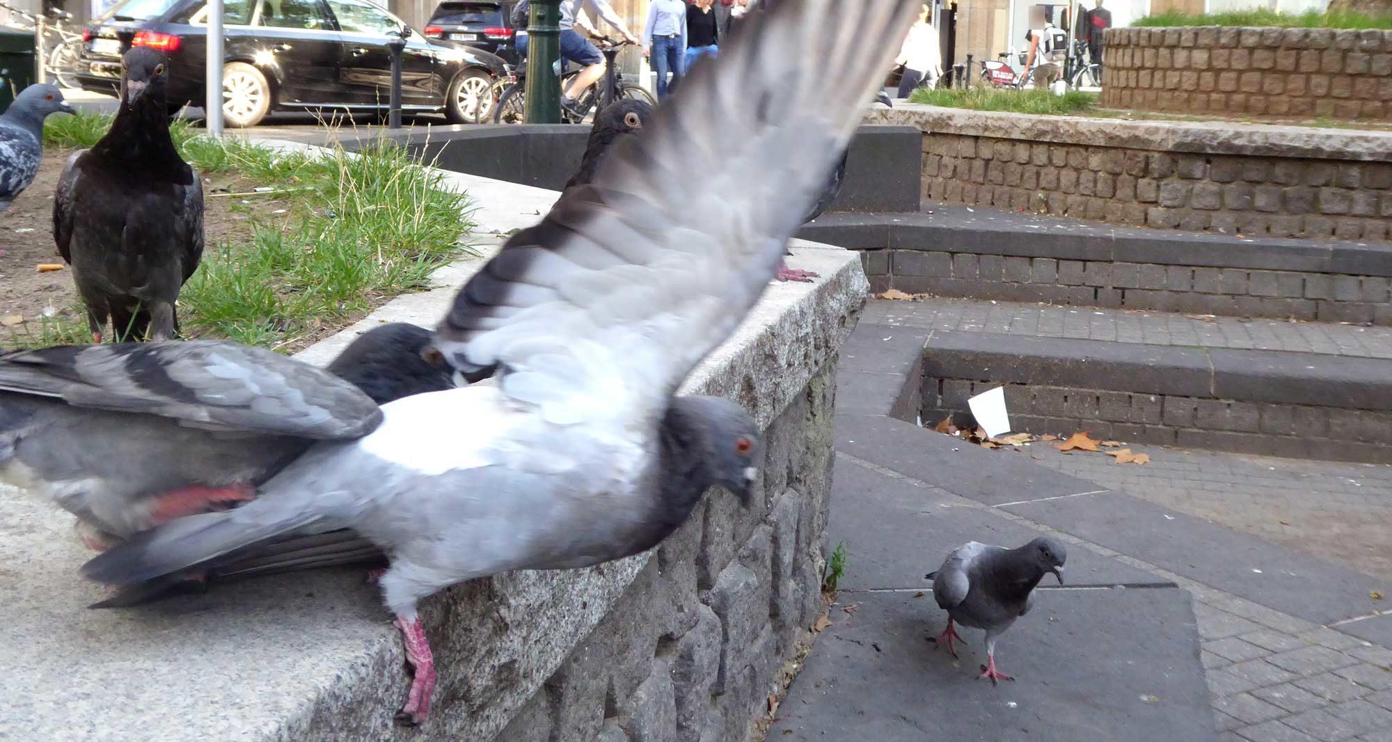 Eine Taube will Sex, die andere Körner