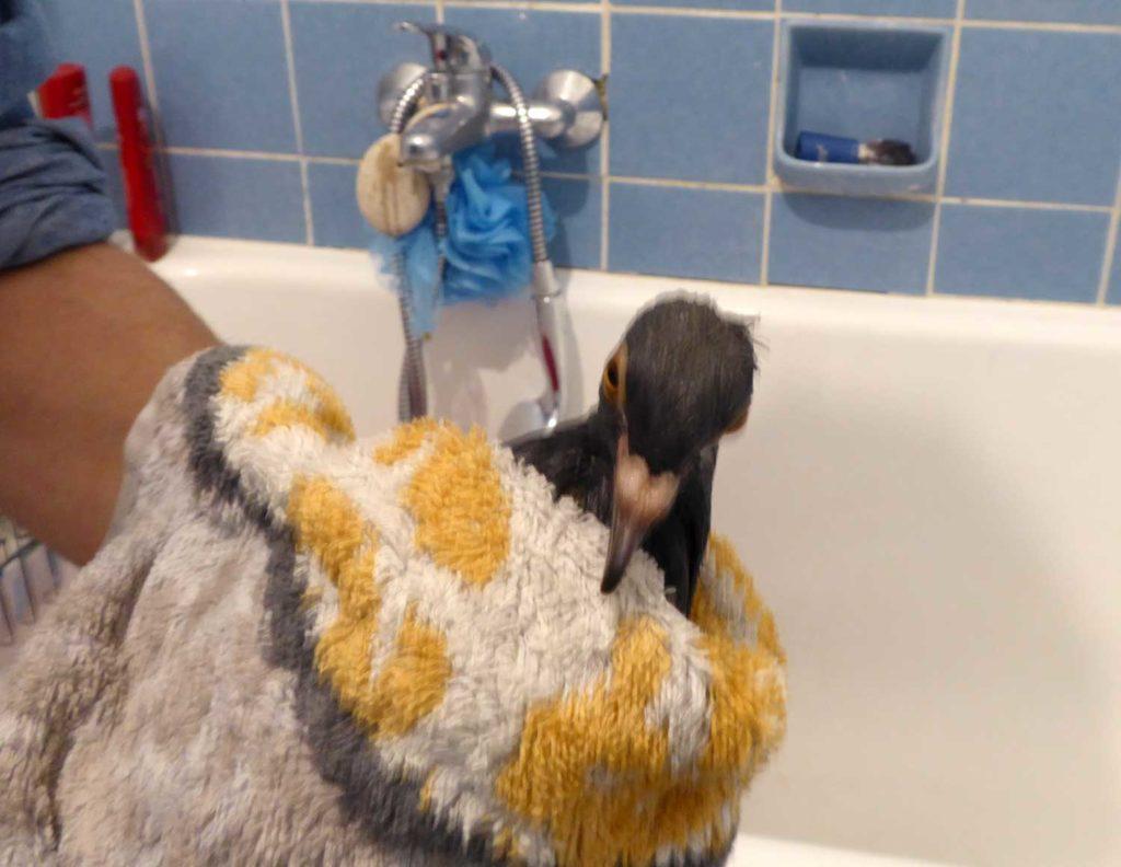 Taube im Handtuch eingewickelt