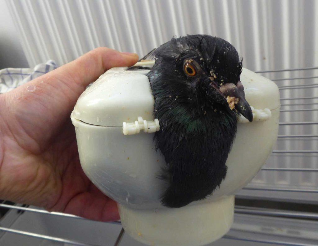 Fütterung einer PMV-Taube mit Hilfe einer Fixierschale