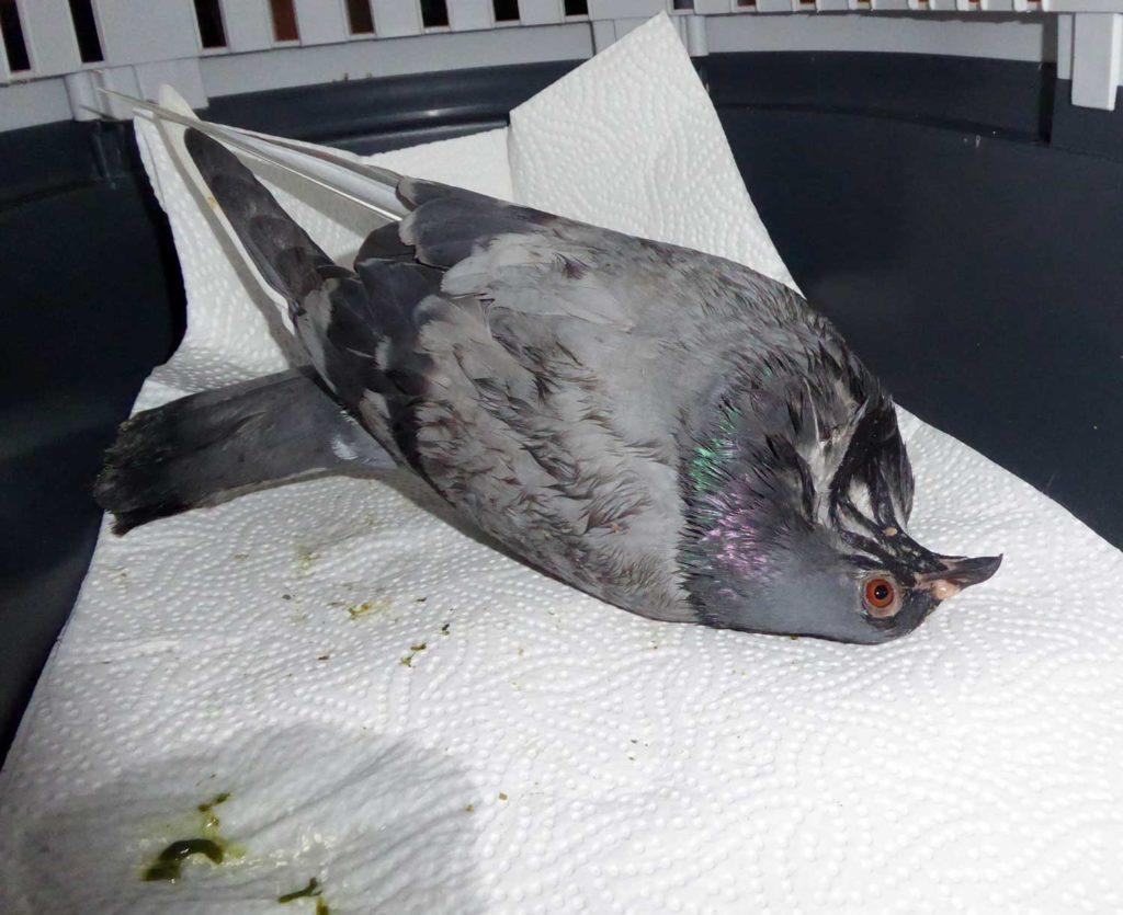 Lähmungen bei PMV-Tauben