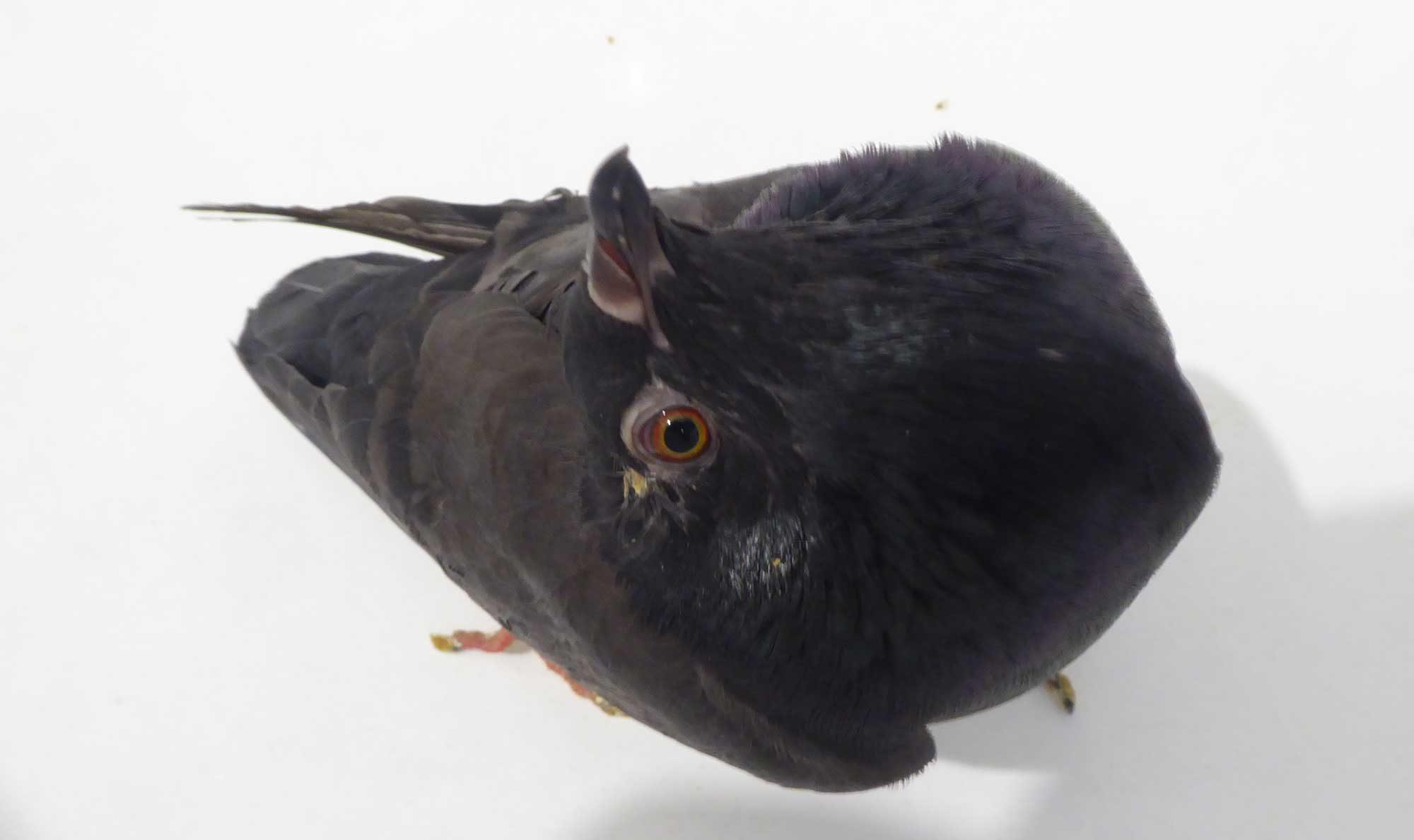 Meimei - meine kleine PMV-Taube