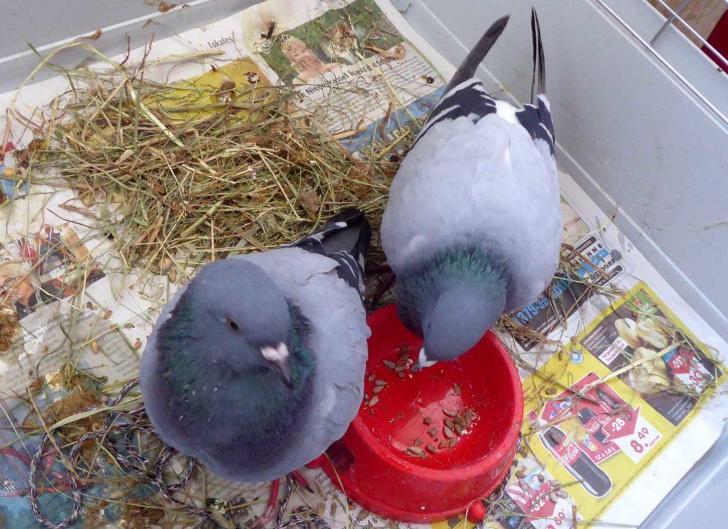 Zwei Tauben mit Paramyxovirose aus dem Düsseldorfer Hofgarten