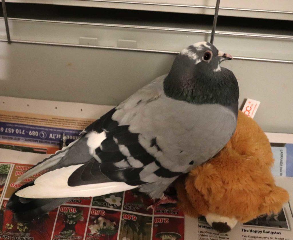 PVM Taube mit Stofftier zum Spielen