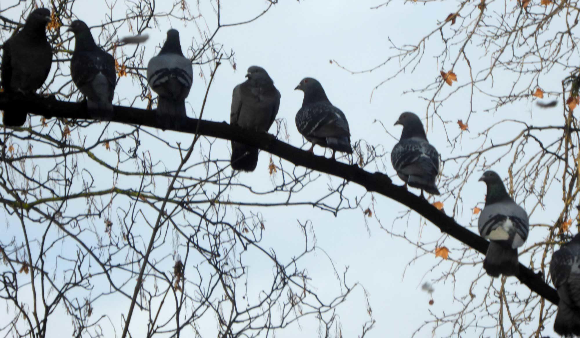 Tauben sitzen auf einem Ast