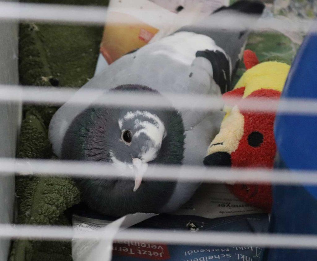Pflege der Seele von PMV-Tauben