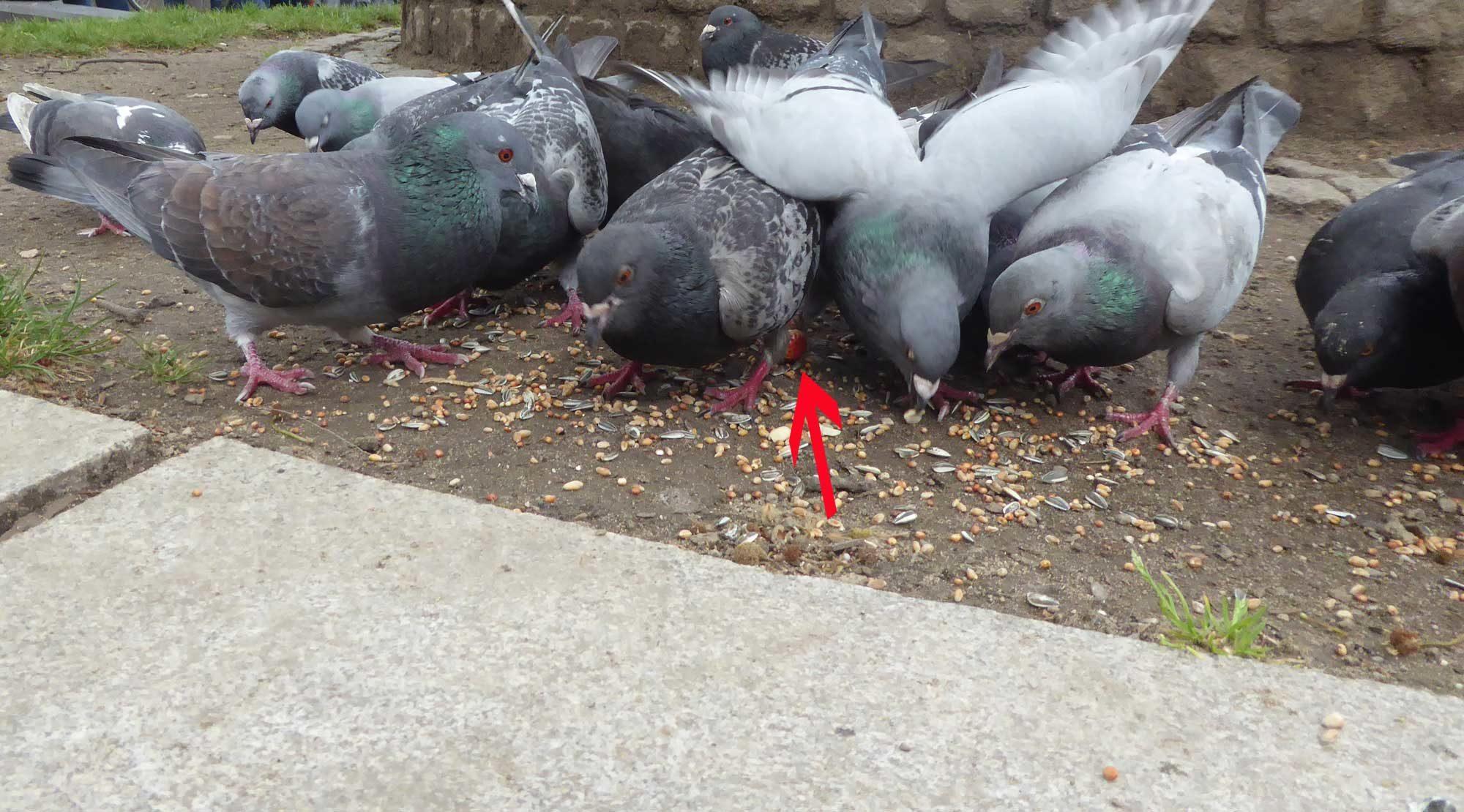 Fußkranke Tauben anfüttern