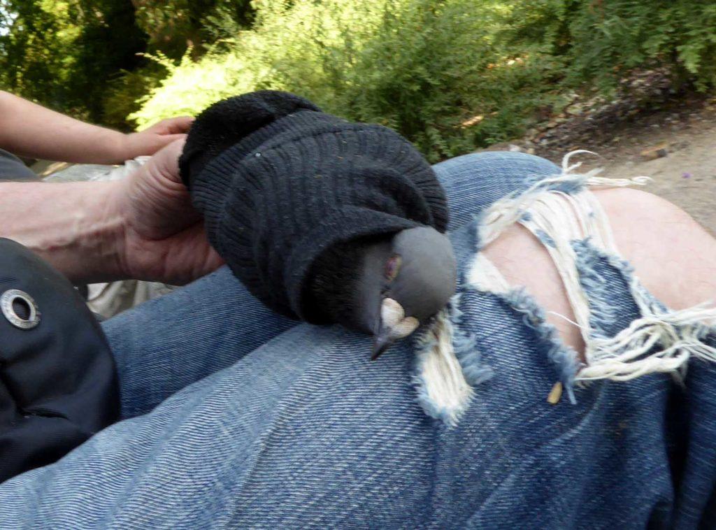 Taube zum Entschnüren in eine ausgediente Socke gepackt