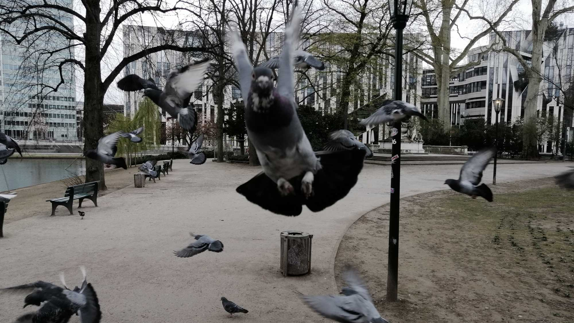 Hungernde Stadttauben fliegen Menschen an