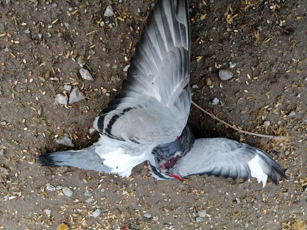 Jungtaube, die von einer Krähe tödlich verletzt wurde