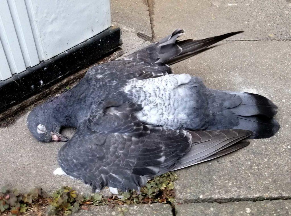Verhungerte Taube in Düsseldorf zu Corona
