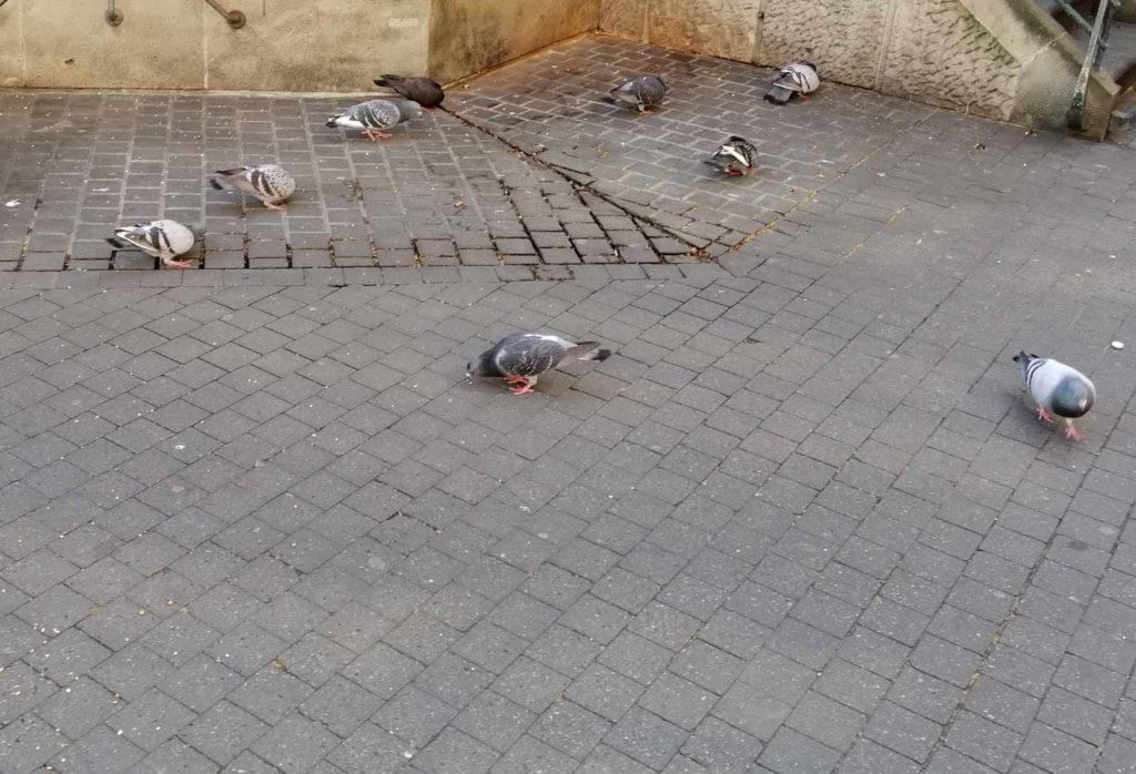 Tauben in der Düsseldorfer Altstadt