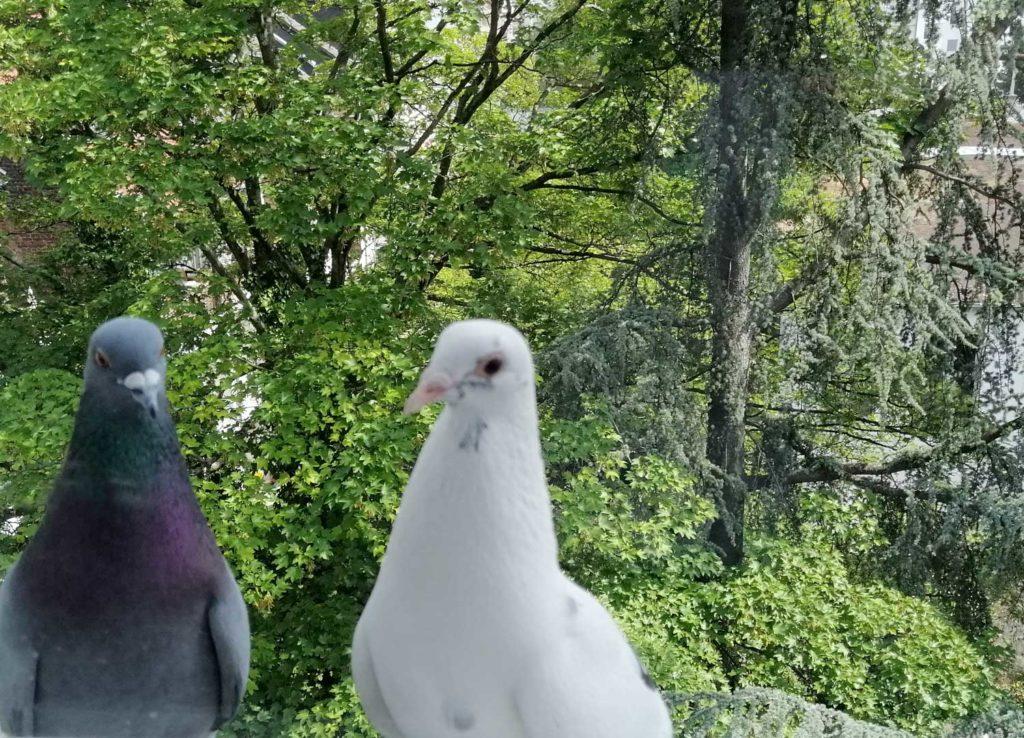 Derenforfer Taubenpärchen Fred und Frieda