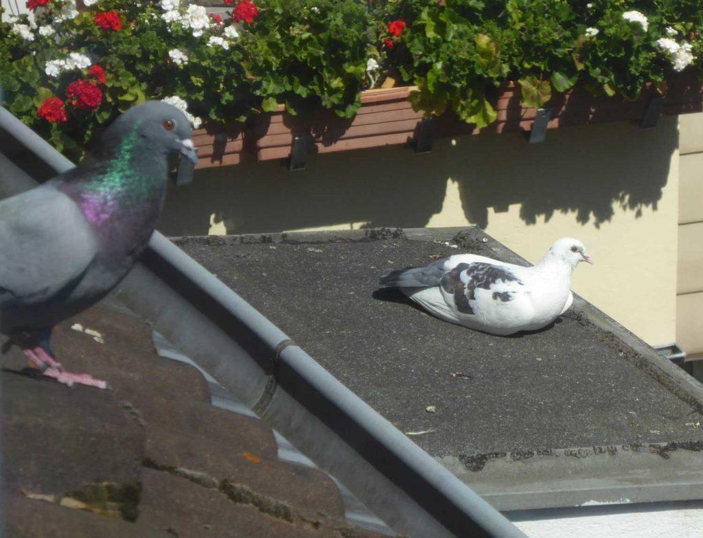 Stadttauben Fred und Frieda sonnen sich im Hinterhof