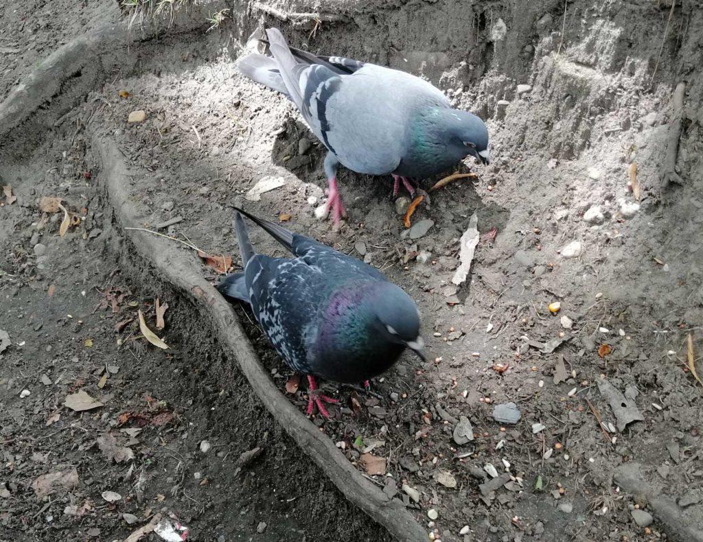 Verschnürte Taube in Düsseldorf Benrath
