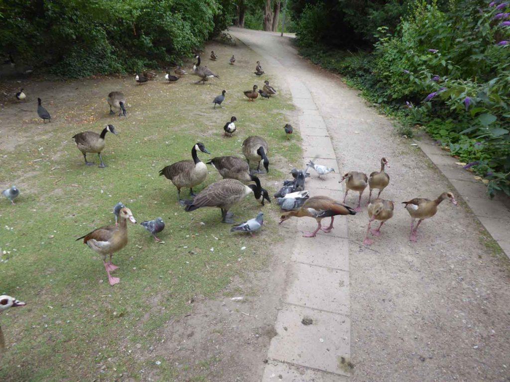 Tauben unter Gänsen und Enten im Florapark