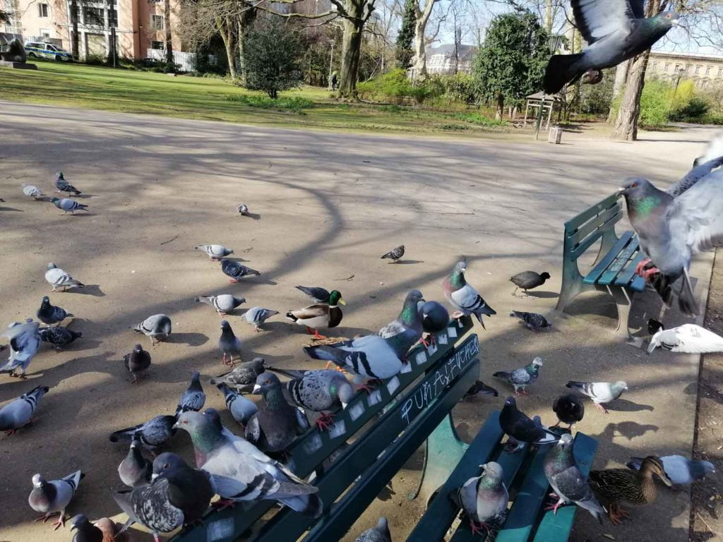 Hofgarten mit Tauben während des Lockdowns