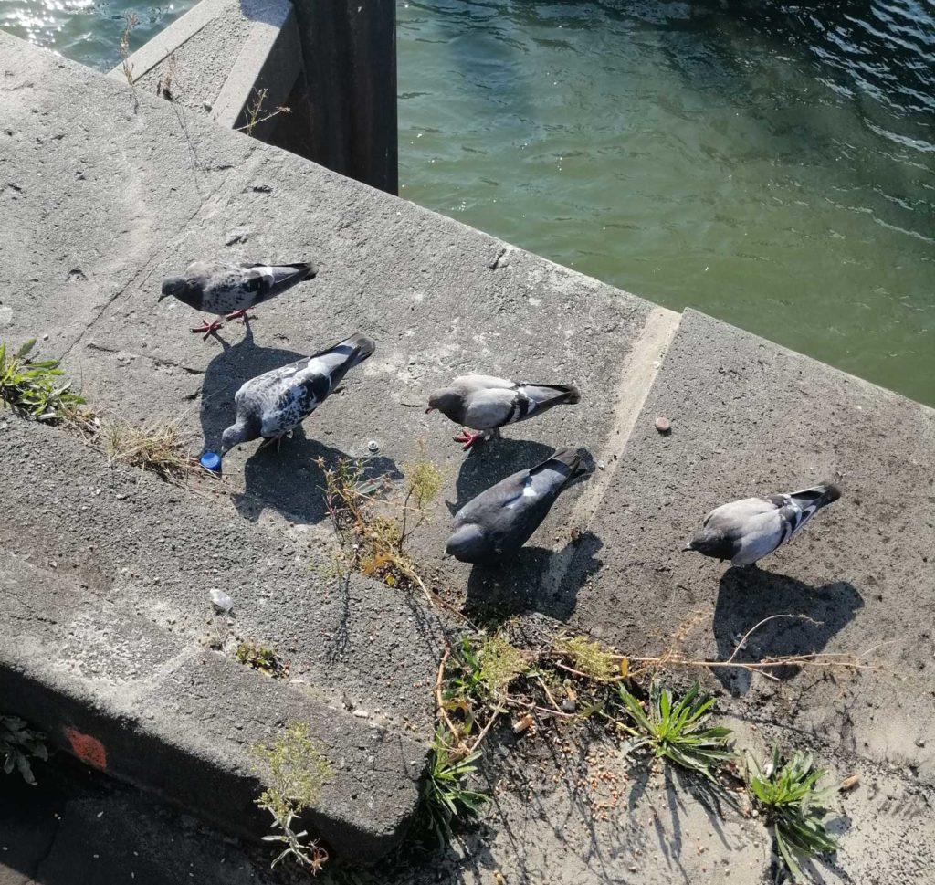 Tauben am Rheinufer